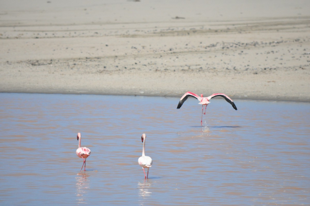 flamands roses namibie flamingoes