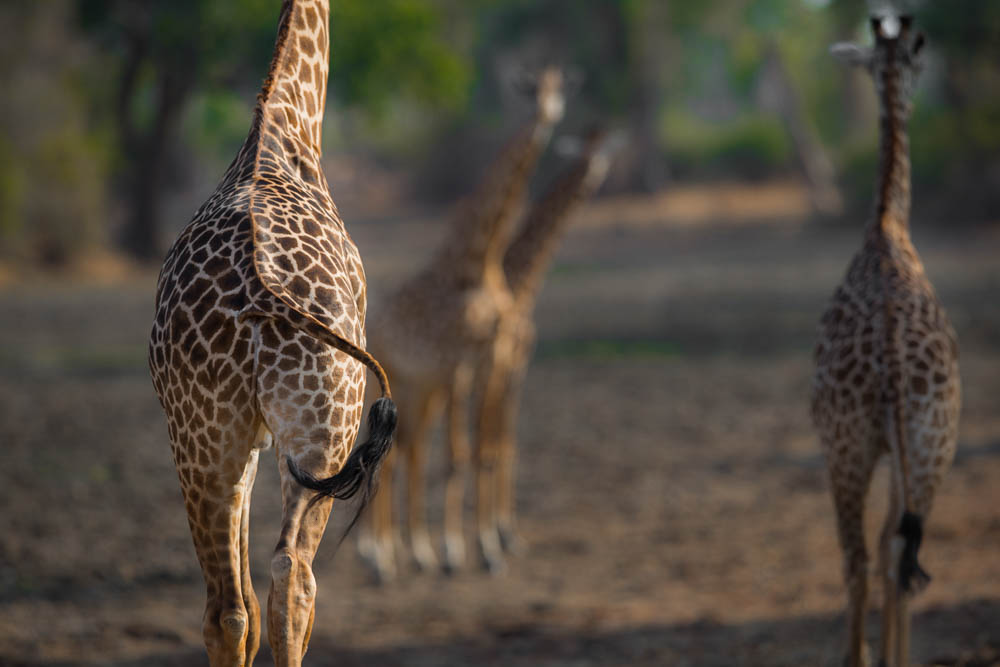 safari-photographique-zambie-girafes